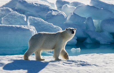 Polar bear wounded by firecracker in the Arctic still alive — scientist